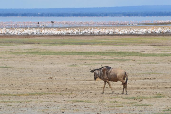 Wildebeest, Pelicans and Flamingos