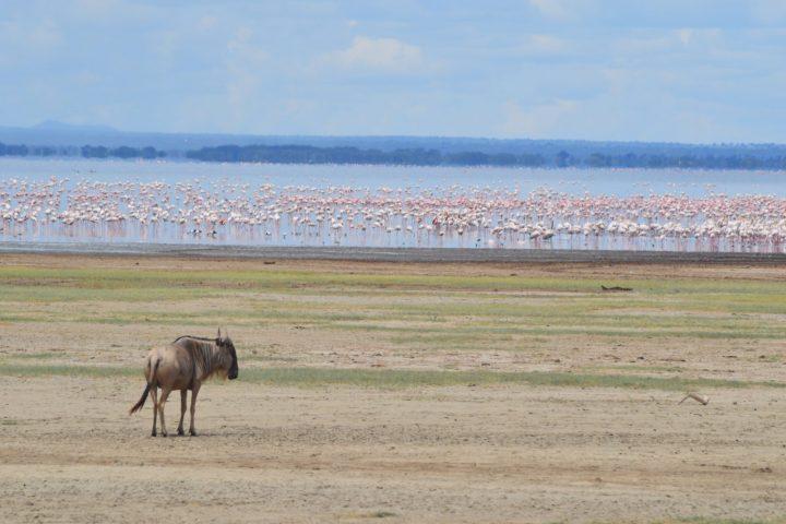 Manyara Wildebeest