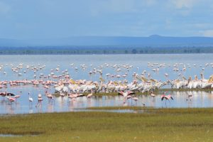 Pelicans & flamingos
