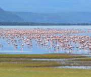 Flamingos on Lake Manyara