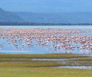 Flamingos on Lake Manyara