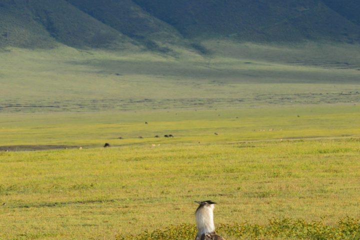Kori Bustard Ngorongoro Crater