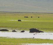 Hippo in Ngorongoro Crater