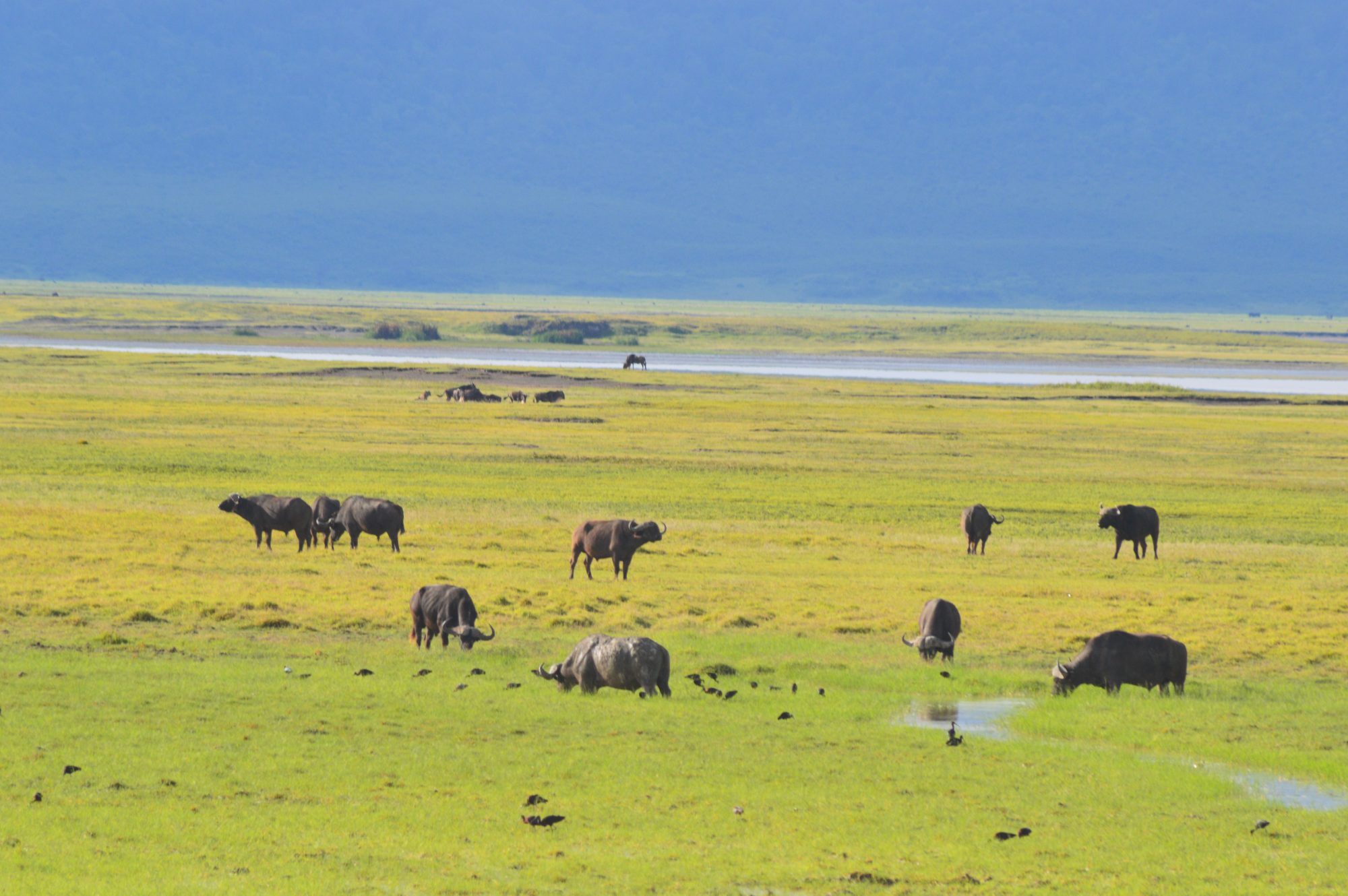 Buffalo in Ngorongoro Crater
