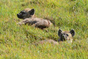 Hyenas Ngorongoro Crater