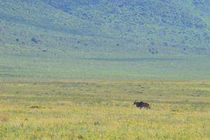 Ngorongoro Crater Eland
