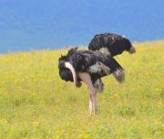Ostriches in Ngorongoro Crater