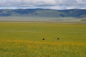 Ngorongoro Crater , flowers and ostriches