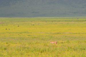 Ngorongoro Caracal