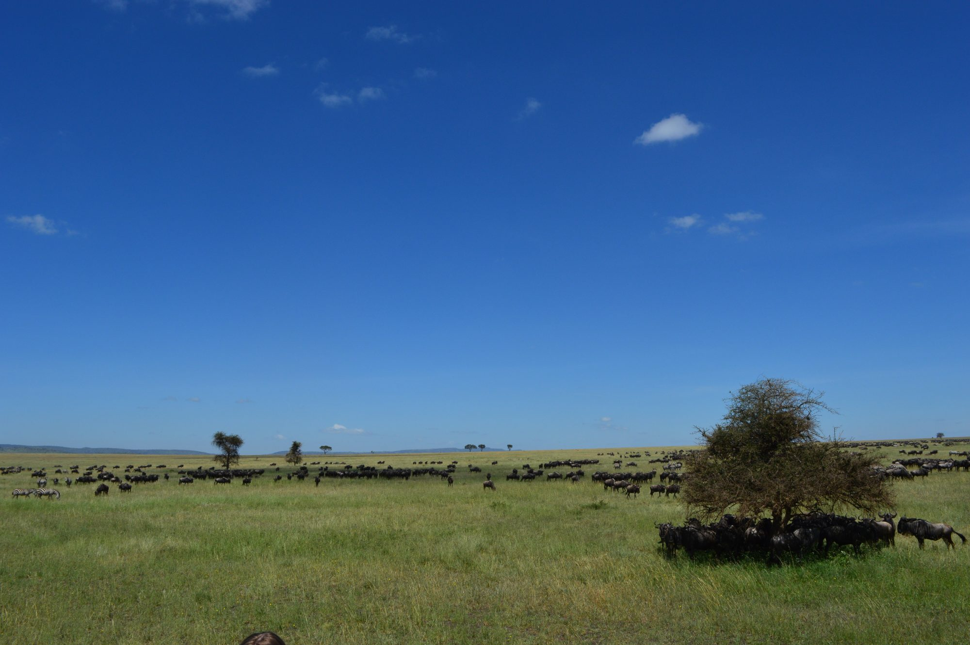 Wildebeeste Migration Seronera