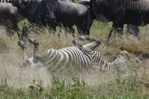 Zebra Dust Bath
