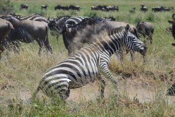 Zebra & Wildebeeste Migration Serengeti