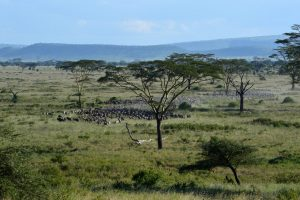 Massing Wildebeeste - the great migration.