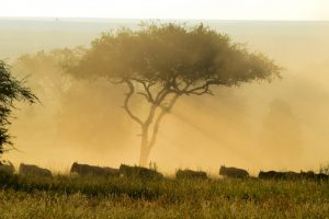 Wildebeeste in the morning light