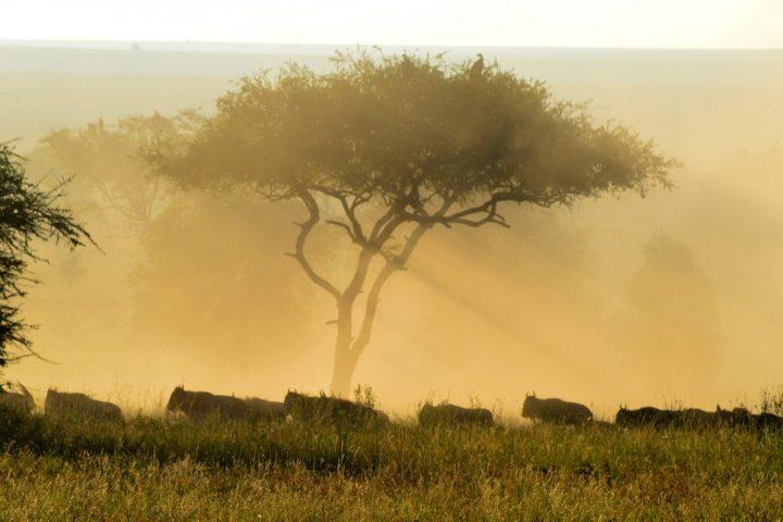 Wildebeeste in the morning light