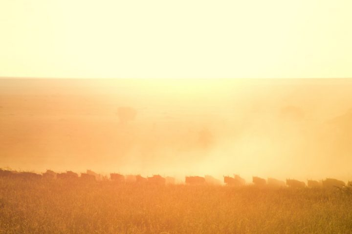Wildebeeste Sunrise