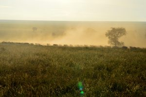Wildebeaste migration morning dust...