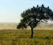 Vulture tree with migration background