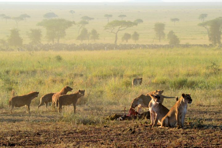 Lions & hyenas with a kill and herd in the distance