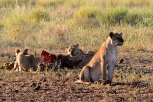 Lionesses and Kill