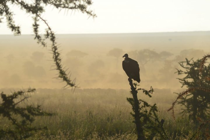 Vulture watching the herds