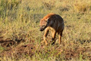 Hyena at dawn, Serengeti