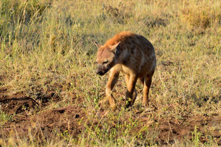 Hyena at dawn, Serengeti