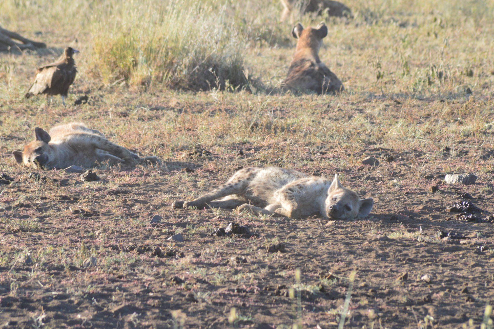 Full hyenas resting