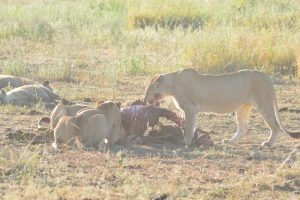 Lionesses on a kill