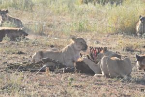 Lion Kill Serengeti