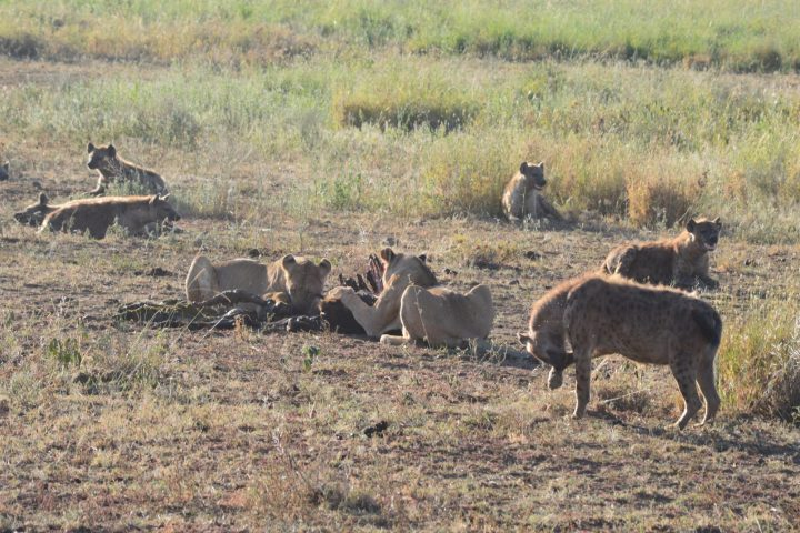 Lions on the kill