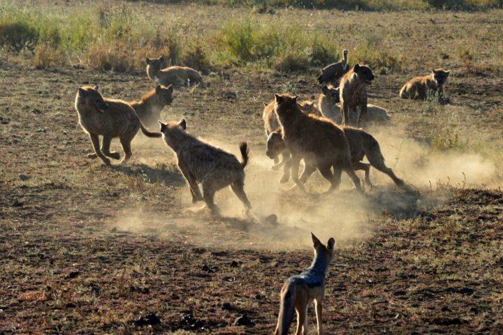 hyenas and jackal scavenging