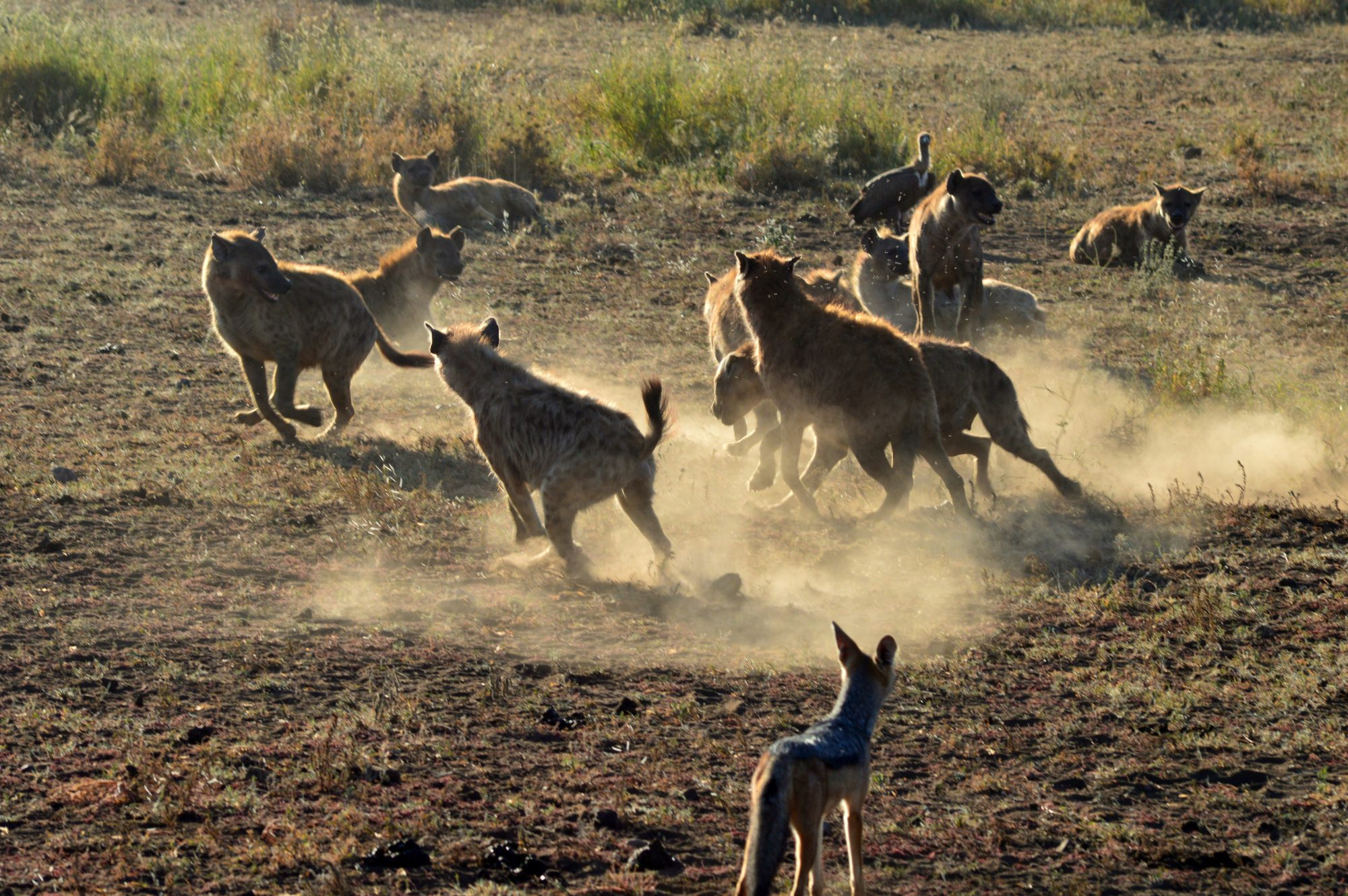 hyenas and jackal scavenging