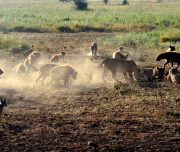 Lion Kill Serengeti