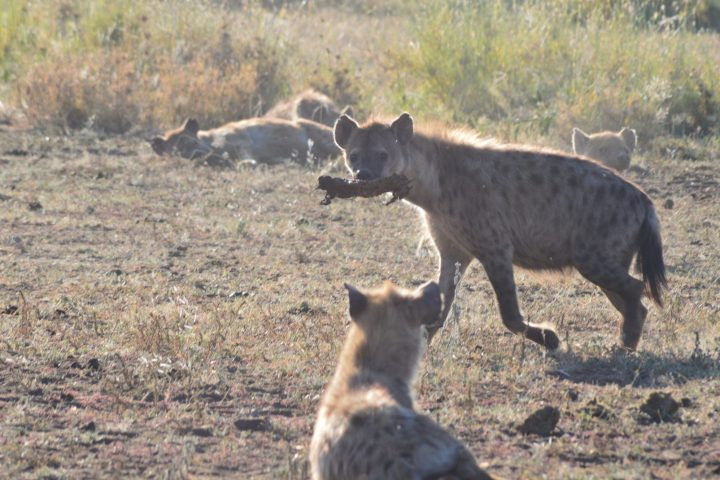Hyena with meat