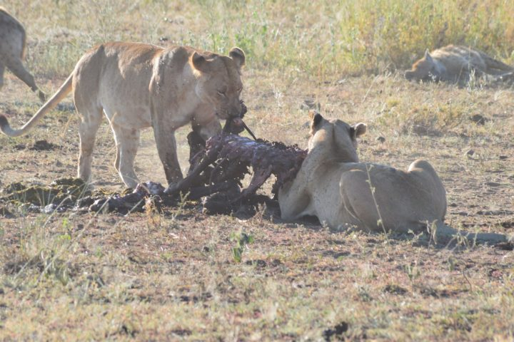 Finishing the meal whilst the hyenas wait