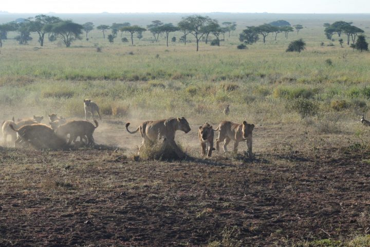 Lionesses with hyenas