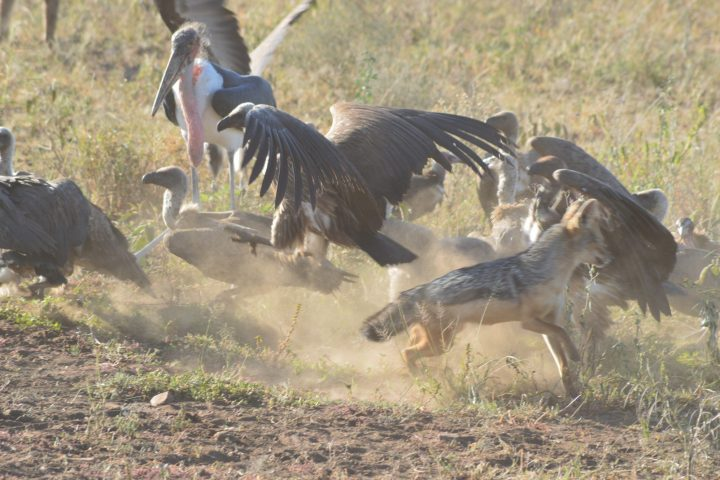 Scavengers after lions leave the kill.