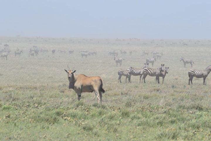 Eland and Zebra
