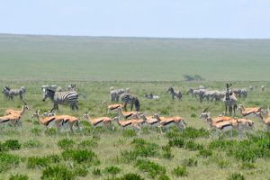 Serengeti Migration Zebra and Thompsons Gazelle