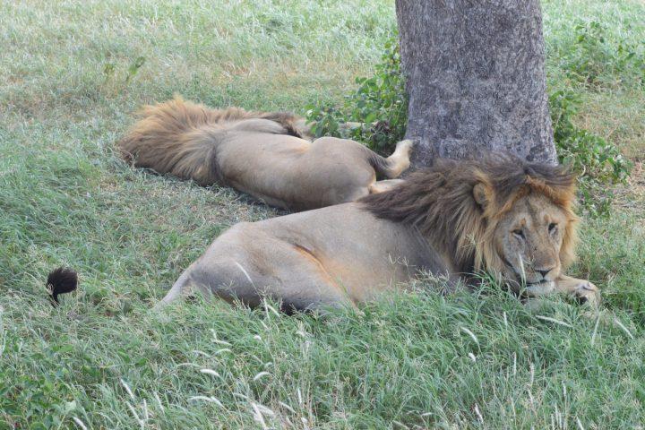 Serengeti Brothers