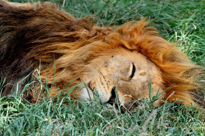 Sleeping Lion Serengeti