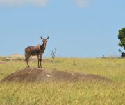 Topi Serengeti