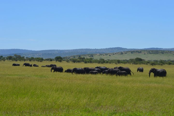 Elephants at Lobo