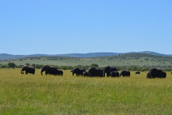 Serengeti Lobo Elephants