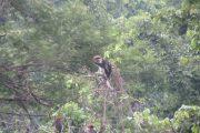 Iringa Red Colobus troop - Udzungwa Mountains