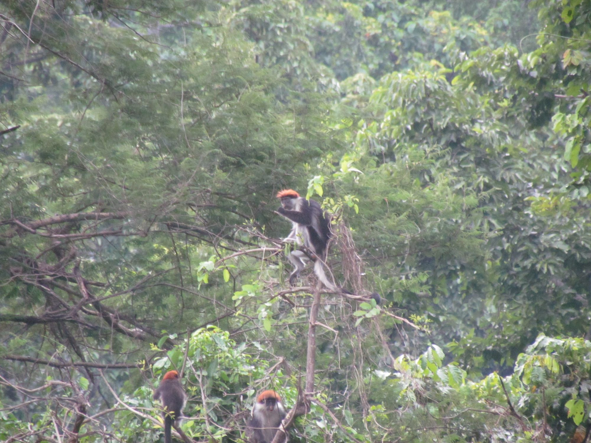 Iringa Red Colobus troop - Udzungwa Mountains
