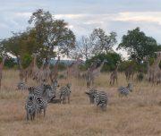 Zebra & Giraffe Mikumi