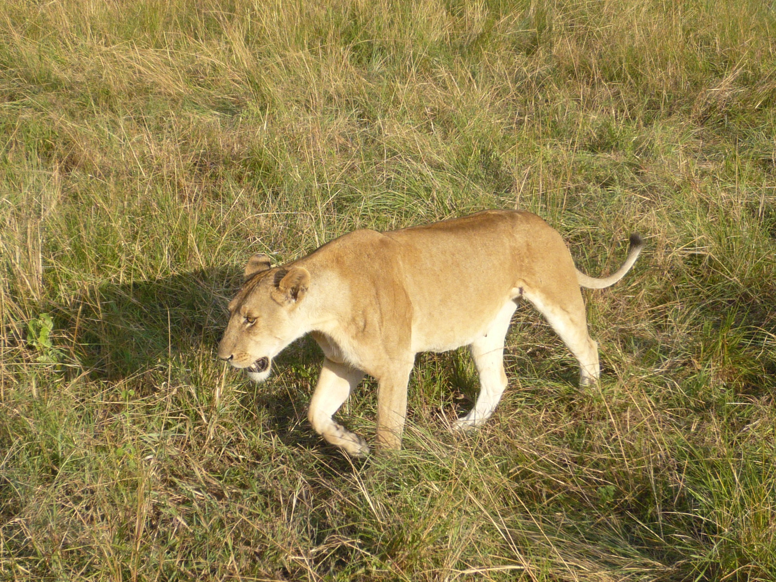 Lioness close to the vehicle