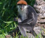 Red Colobus near Hondo Hondo Tented camp - on the lawn.